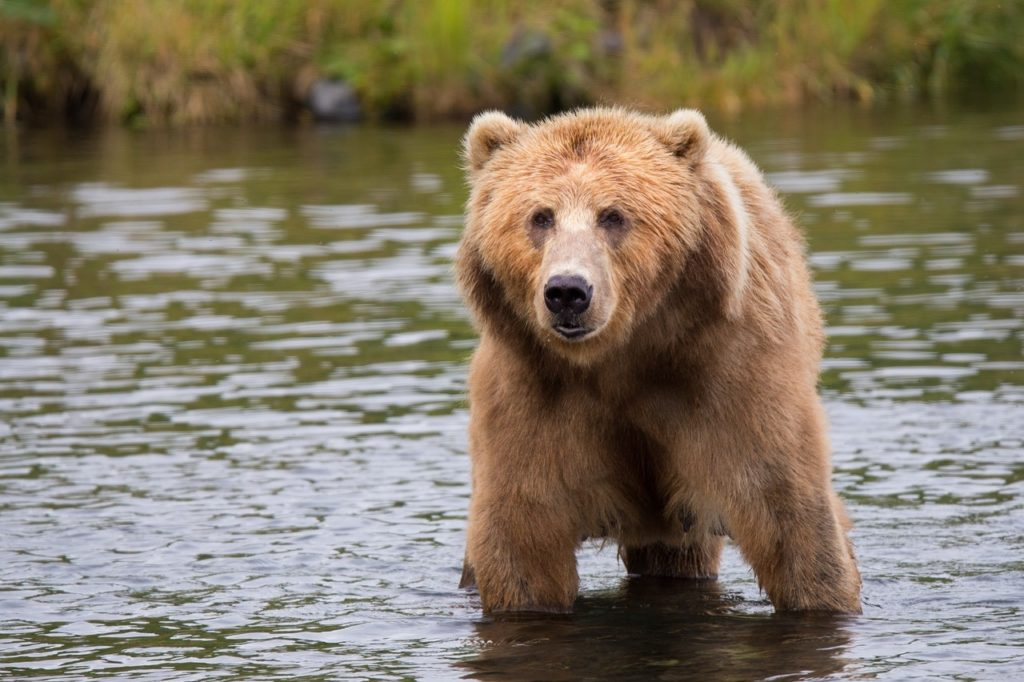 Bear 1024x682 - 7 Reasons To Add a Cruise to Alaska on Your 2018 Bucket List